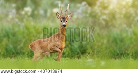 Majestic Roe Deer Buck With Large Antlers Approaching On Green Meadow In Summer