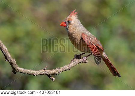 Colorful Female Cardinal Cardinalis Cardinalis Perched On A Branch