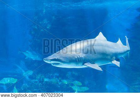 Tiger Shark In  Sea Water. Big Shark In Deep Blue Water.