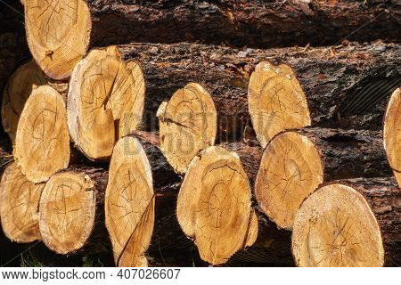 Log Trunks Pile, The Logging Timber Forest Wood Industry. Timber Harvesting In Forest