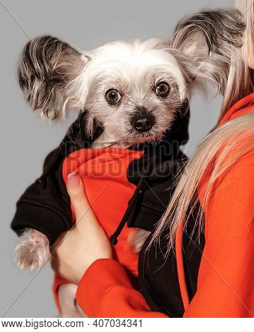 Closeup Portrait Of Cute Chinese Crested Dog On Owner Arms. Girl And Dog Wear The Same Oramge Clothe