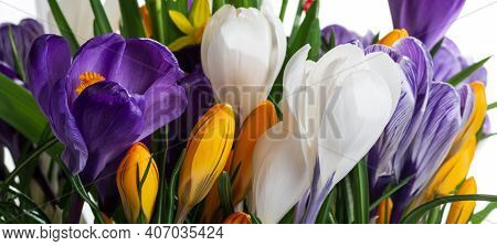 Early Spring Flowers - Colorful Crocus. Selective Focus. Shallow Dof