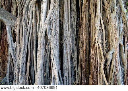 Close Up A Banyan Tree In Key West Florida