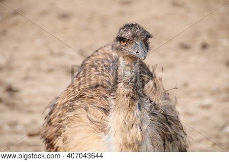 Close-up Portrait Of Emu Ostrich, Dromaius Novaehollandiae