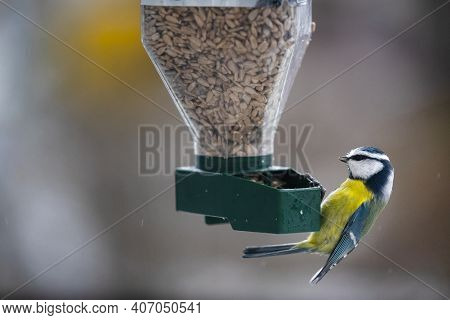 On A Cold Clear Winter Day With Snow, The Blue Tit (parus Caeruleus) Feeds On The Peeled Sunflower F