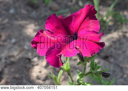 A Perfectly Pink Petunia On A Petunia Plant. One Petunia Flower Close-up In The Sunlight. Macro. Sam
