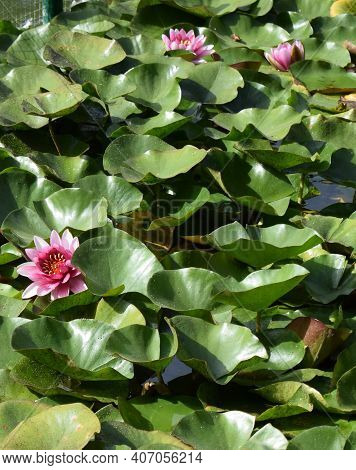 Pink Water Lily And Leaf In Pond. Beautiful Water Lily - Nymphaea Attraction (water Lilies) - Aquati