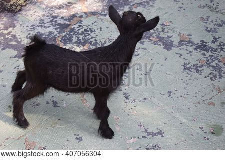 Domestic Animal, Photo Of A Black Goat Kid In A Farm. Portrait Of A Little Funny Black Goat On The F