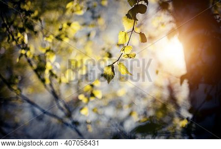 Fresh Spring Leaves On The Branches Of A Birch Tree In The Rays Of The Setting Sun. Background With