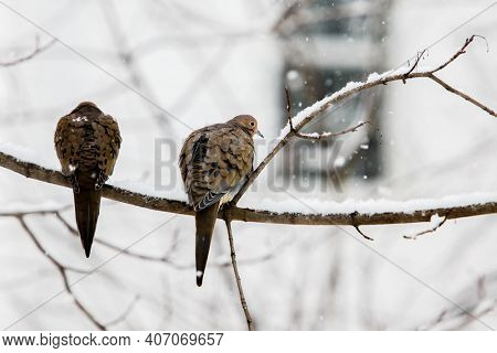 Two turtle dove sitting on tree in winter blizzard