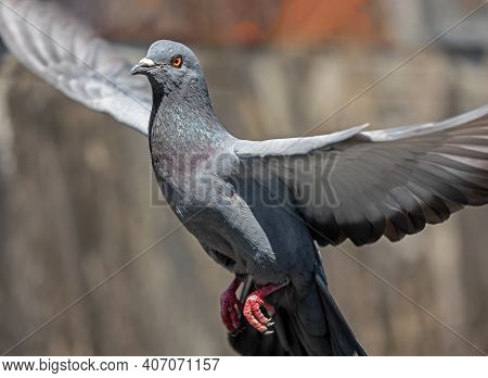 Movement Scene Of Rock Pigeon Flying In The Air Isolated On Background