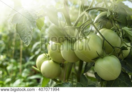 Bunch Of Organic Unripe Green Tomato In Greenhouse. Homegrown, Gardening And Agriculture Consept. So