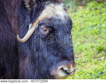 Head Of Musk Ox Or Muskox With Horn Closeup. Musk Ox (ovibos Moschatus) Animal Head From Arctic Faun