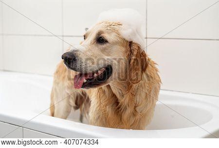 Golden retriever dog with foam on head