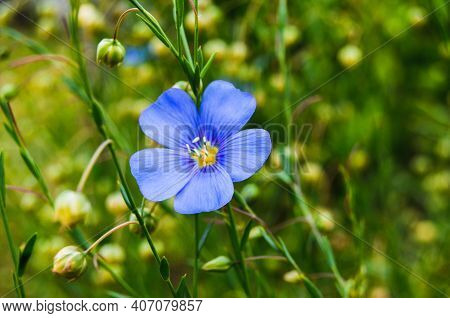 Flax (linseed) Flower & Flaxseed Plant Blossom Field. Linum Usitatissimum Or Common Flax Flower, Lin