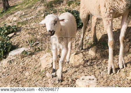Portrait Of Cute Lamb Near Her Mom In The Field