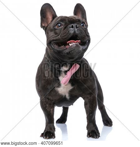 cute french bulldog dog feeling happy, sticking out tongue and wearing a pink bowtie against white background