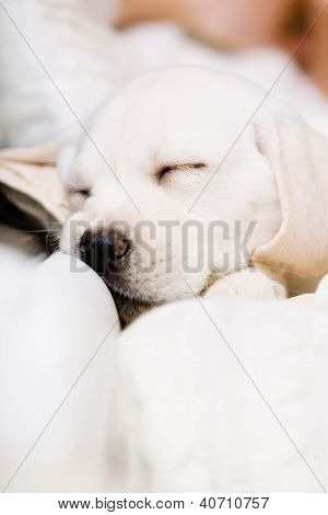 Close up of sleeping Labrador puppy on the hands of female owner sitting on the sofa