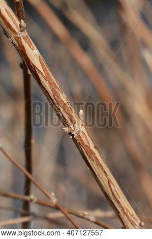Fuzzy Deutzia Flore Pleno Branch With Buds - Latin Name - Deutzia Scabra Flore Pleno