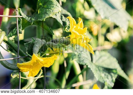 Small Cucumbers In The Garden. Blooming With Yellow Flowers, Cucumber Plant Are Tied In The Garden F