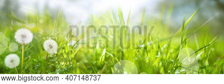 Blooming Dandelions In A Damp Spring Meadow. Seasonal Background With Light Bokeh And Short Depth Of