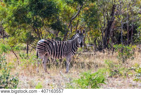 Burchella Zebra - flat zebra lives in southern Africa. The famous Kruger Park. The zebra graze in the green bushes. Exotic journey to the Africa. The concept of ecological and photo tourism