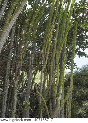 View Of Pipe Cactus With Thorns And Green Leaves In Botanical Garden, Jardin Botanico Canario Viera