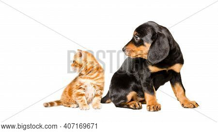 Cute Kitten Scottish Straight And Slovakian Hound Puppy Sitting Together, Looking To The Side, Isola