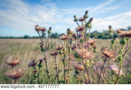 Closeup Of Overblown And Flowering Spiny Plumeless Thistle Pla\nts In The Foreground Of A Large Fiel