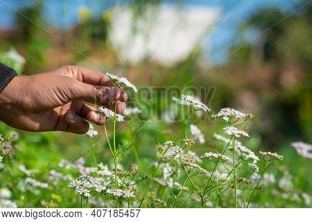 Coriander Plant In Hand At Field. Coriandrum Sativum