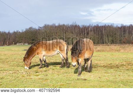 Herd Of Wild Exmoor Ponies, Equus Ferus Caballus, Graze In A Nature Reserve. Fochteloo, The Netherla