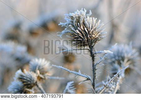 Dry Thorny Plants Covered With Ice Close-up. Beautiful Nature In Winter, Plant In Frost, Snow. Froze