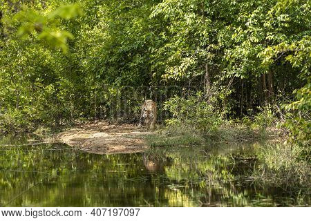 Royal Bengal Wild Male Tiger With Reflection In Water. Animal In Green Forest. Wildcat In Natural Ha
