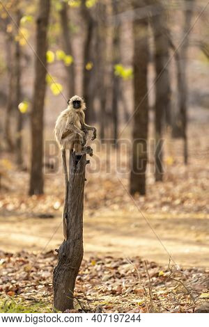 Gray Or Hanuman Langurs Or Indian Langur Or Monkey Portrait Perched On Tree Trunk During Outdoor Jun