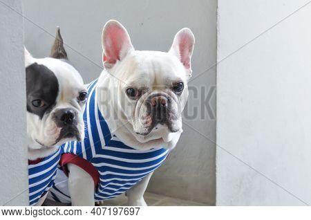 French Bulldog Or Squint-eyed French Bulldog And White French Bulldog