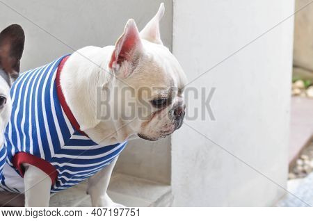 French Bulldog Or White French Bulldog On The Floor
