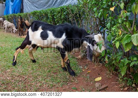 A Kacang Goat Tied Up And Feeding On Vegetation Before Being Slaughtered For The Islamic Holiday Of