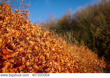 Beech Hedge In Golden Fall Or Autumn Colours