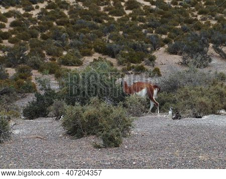 Guanaco In The Bush Of The Valdes Peninsula, Argentina. High Quality Photo