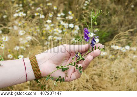 The Girl Holds A Plant Vicia Hirsuta With Purple Flowers In Her Palm, Which Flattens Her Hand Agains