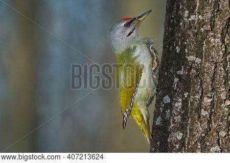 Bird - Grey-faced Woodpecker ( Picus Canus ) Crawling Along An Oak Trunk On A Sunny Frosty Winter Da