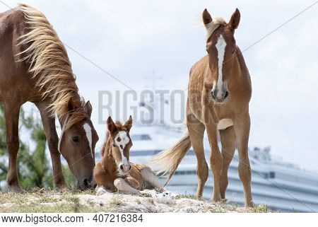 The View Of The Family Of Horses With A Colt And A Cruise Ship In A Background On Grand Turk Island