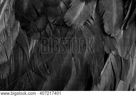 Macro Photo Of Black Hen Feathers. Violet Background