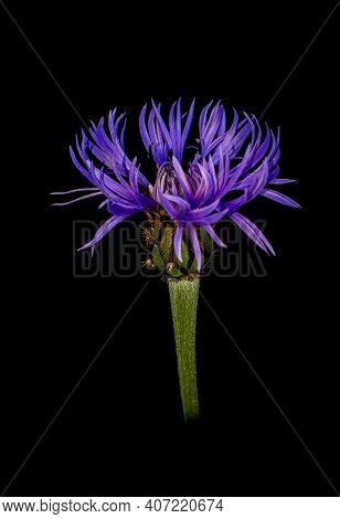 Purple Perennial Cornflower / Centaurea Montana Flower On Black