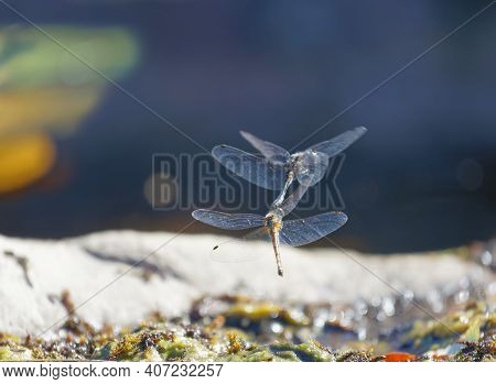 One Yellow And One Blue Dragonfly Mating Above The Pond. The Male Uses A Hook To Hold The Females He