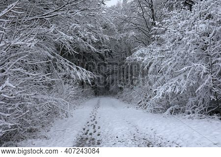 Fresh White Snow Lies On The Branches Of Bushes And Trees.