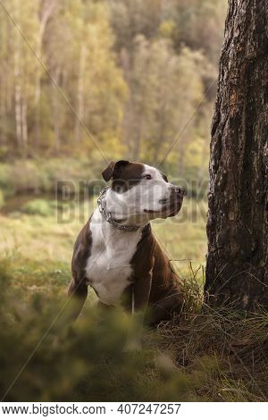 A Dog On A Walk In The Woods. Brown Pit Bull On A Background Of Green Grass