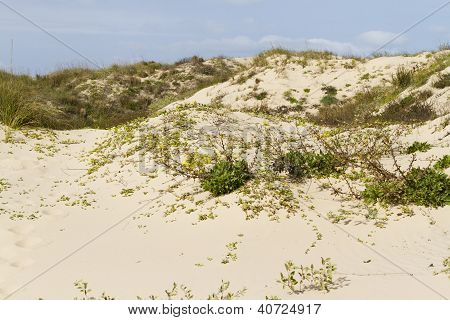 Coastal dunes of South Padre Island TX. poster