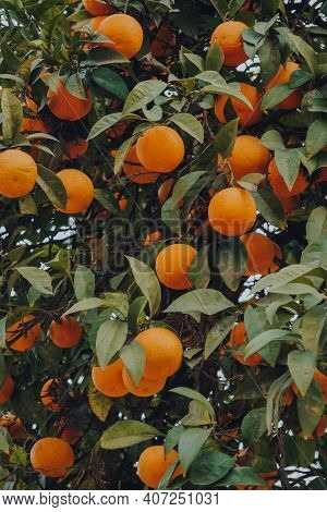 Many Oranges On Decorative Orange Trees On A Street In Seville, Andalusia, Spain.