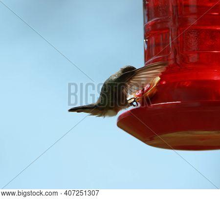 A Hummingbird Drinking Nectar From A Bird Feeder.